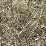 Цикорій дикий восени
